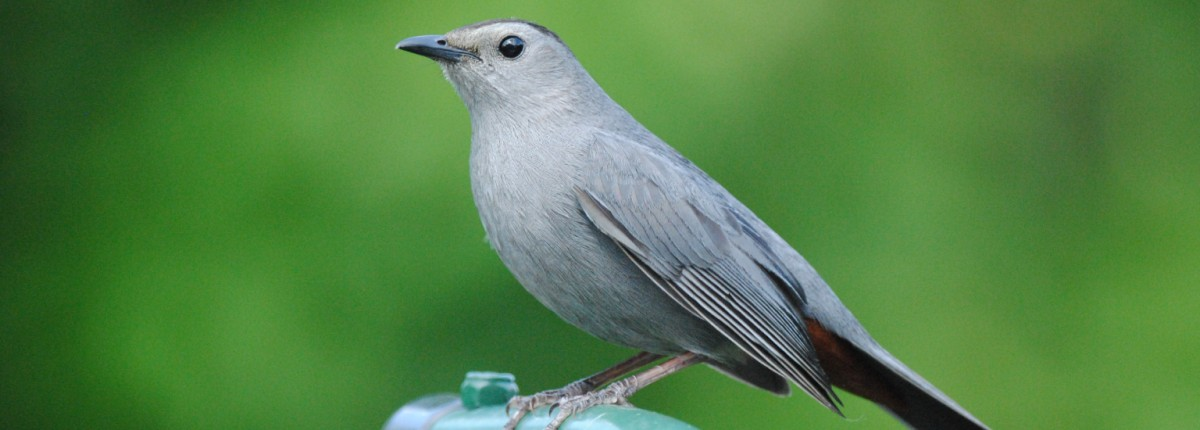 Photo of gray bird.